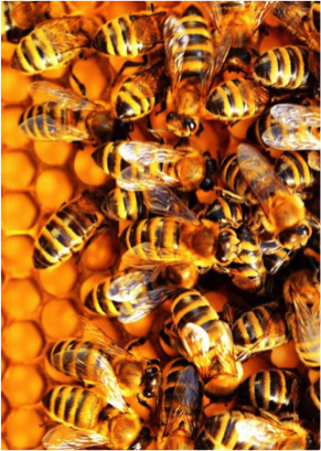 Bees deliver 2-4x boost in crop yields